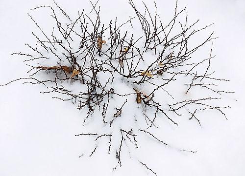 Thorns on snow