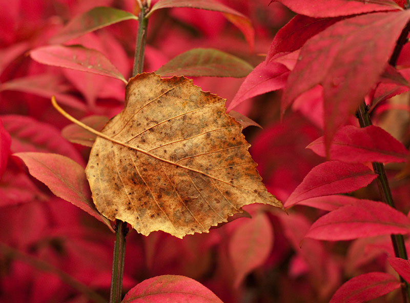Fall Leaf_2